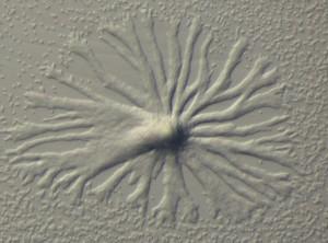 Dictyostelium discoideum - Slime Mold - Image credit Freien Universität Berlin